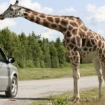 Blair Drummond Adventure And Wildlife Safari Park: Fun For The Whole Family!